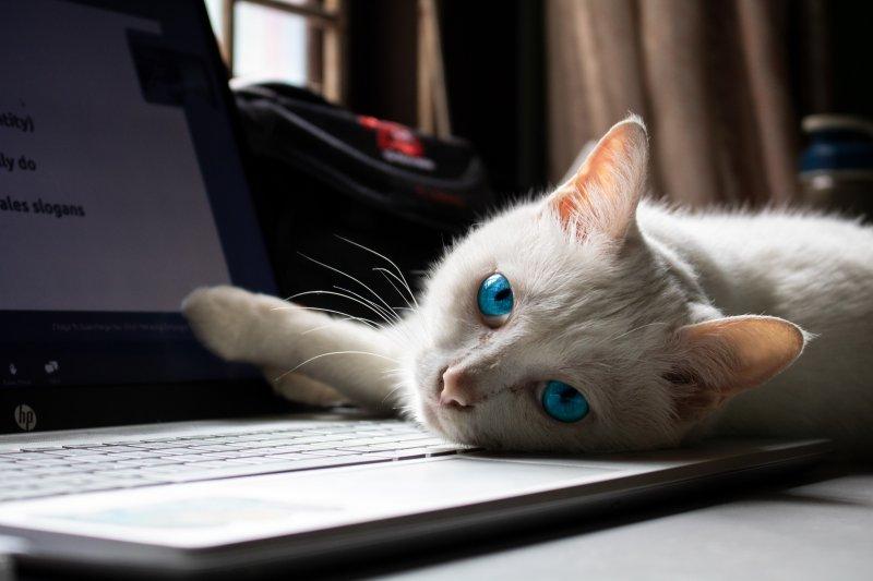 Un gato de color blanco y los ojos azules está sobre el teclado de un ordenador portátil